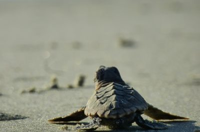 sea turtle hatchling heading to sea