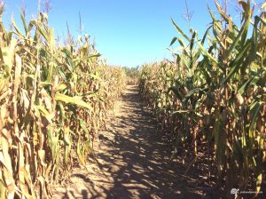shows width of path cut through corn maze