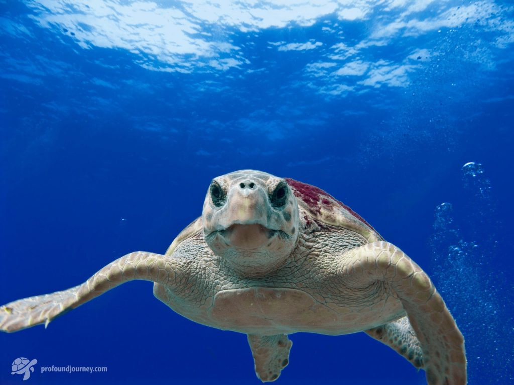 loggerhead sea turtle facing viewer with lots of blue space above