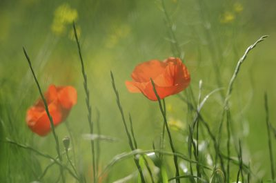 two red poppies in a field of soft green