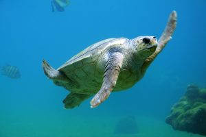 grey sea turtle with one flipper raised as if saying hello