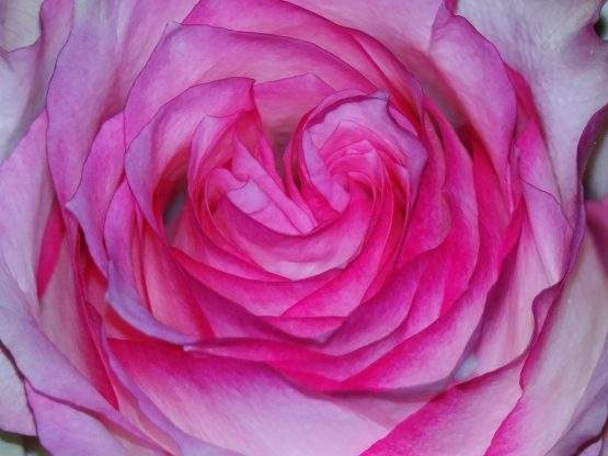 close up of deep pink rose in full bloom, symbolizing perfectionism