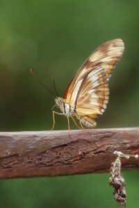 brown butterfly on branch above empty chrysalis