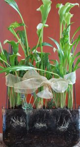 three calla lilies arranged in glass