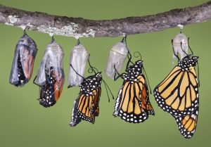 composite of five views of monarch emerging from its chyrsalis