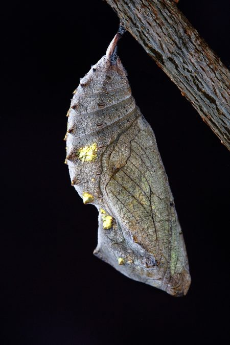 macro of chrysalis