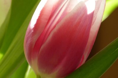 light shining on single pink tulip