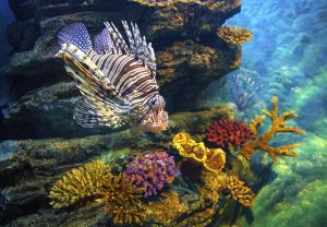 lionfish among corals