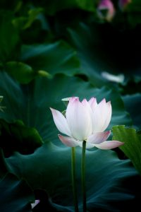 lotus flower against lush green foliage