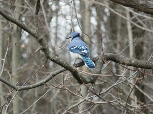 blue jay in bare tree in forest