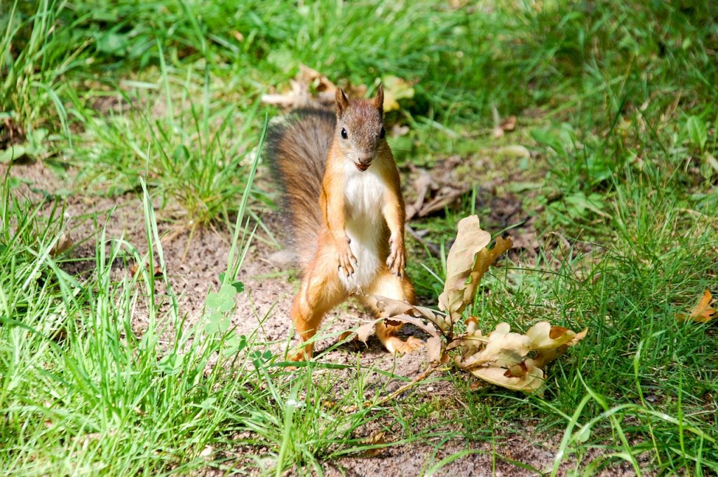 startled squirrel standing on hind legs in the woods