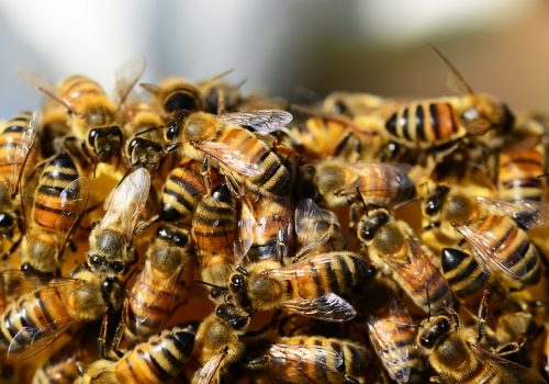 honey bees starting to form bee ball