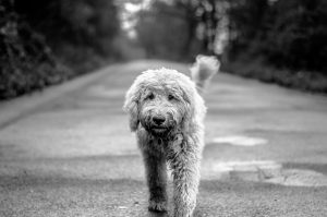 black and white of sproodle