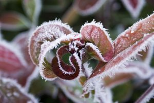 closeup of red-veined leaves with frost