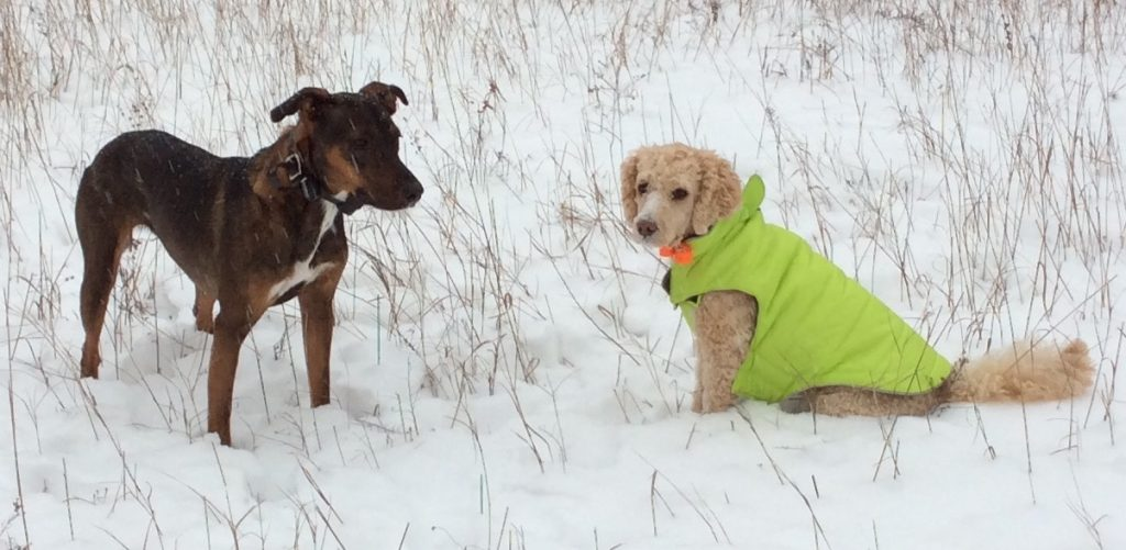 two dogs in snow, one wearing a green coat