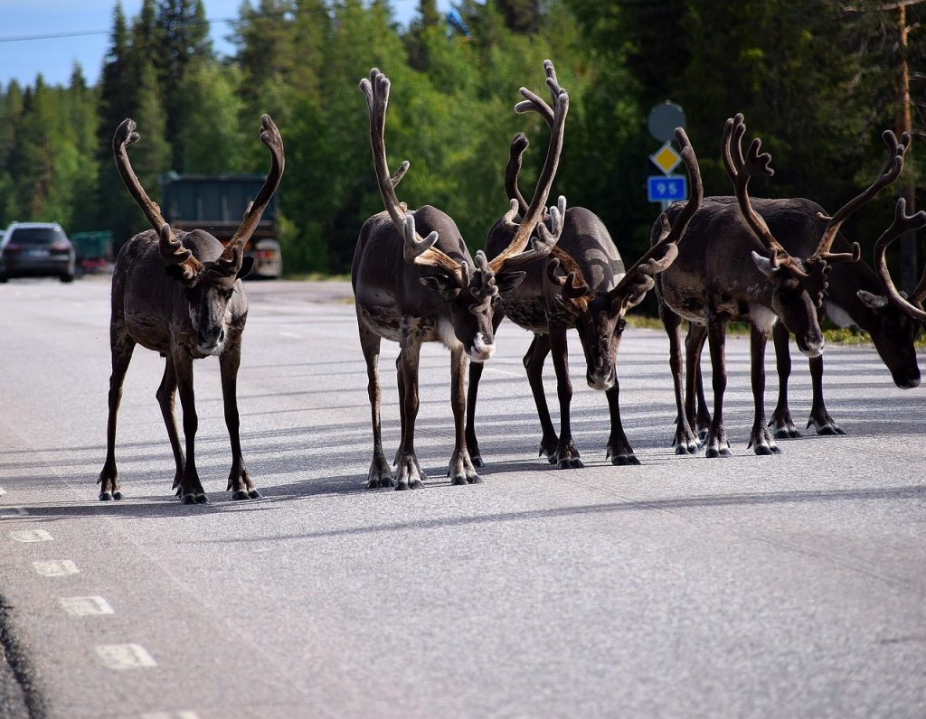 reindeer lined up as in a race