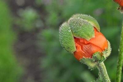 orange flower budding