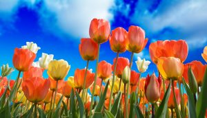 side view of tulips