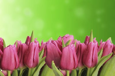 pink tulips against green background