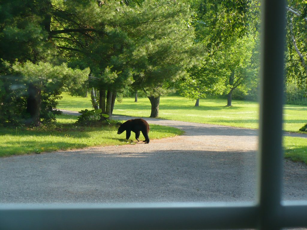 young black bear in driveway