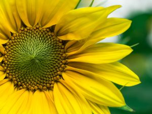 closeup of yellow daisy